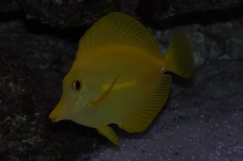 yellowtang1.jpg