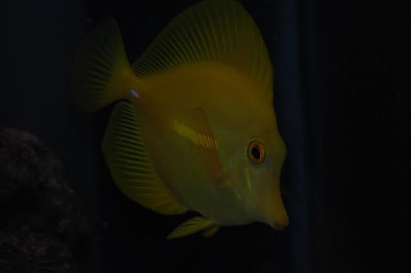 yellowtang2.jpg