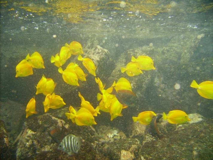 yellowtangs2rs.jpg