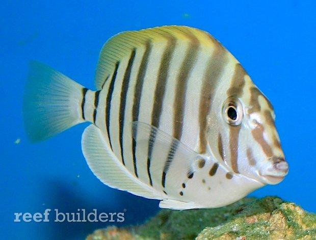 zebra-tang-coral-haven-2.jpg
