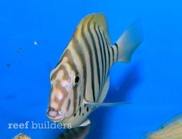 zebra-tang-coral-haven.jpg