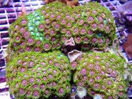 Zoanthus_Corals.jpg