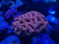 Acan frags for sale