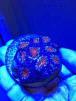 Acan frags and zoas for sale