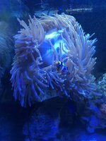 Large Magnificent Anemone + Picasso Clownfish