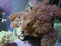 Corals for sale pretoria, hammer, birdsnest, pincushion, gsp, riccordea
