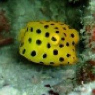 gavapotomous