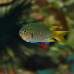 Yellowtail Damsel