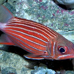 Striped Squirrelfish