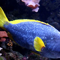 Yellowtail Rocky