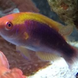 Lubocks Fairy Wrasse