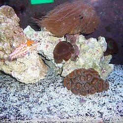 choati leopard and some small acan colonies